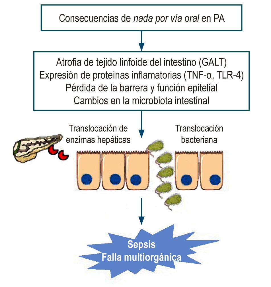 Figura 1. Consecuencias de la suspensión de la vía oral. GALT: tejido linfoide asociado con el intestino; TLR-4: receptor tipo toll-4; TNF-α: factor de necrosis tumoral alfa. Figura realizada por los autores.